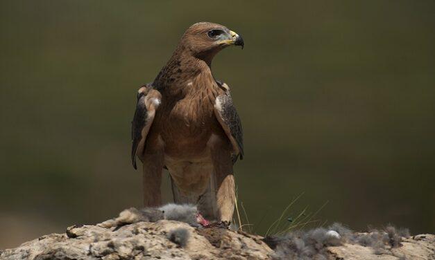 El águila de Bonelli se reproduce por primera vez en Montaña Alavesa después de cuatro décadas.